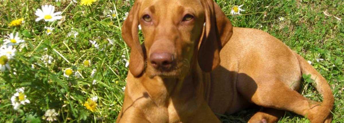 Weimaraner Hund beim Sonnen im Gras