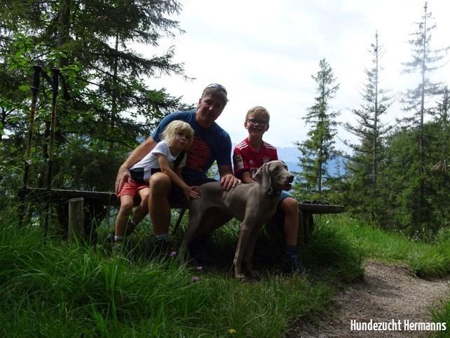 Weimaraner Hund im Wald