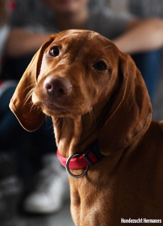Magyar Vizsla Hund Portraitaufnahme