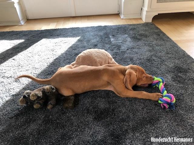 Magyar Vizsla Hund Franz beim Spielen