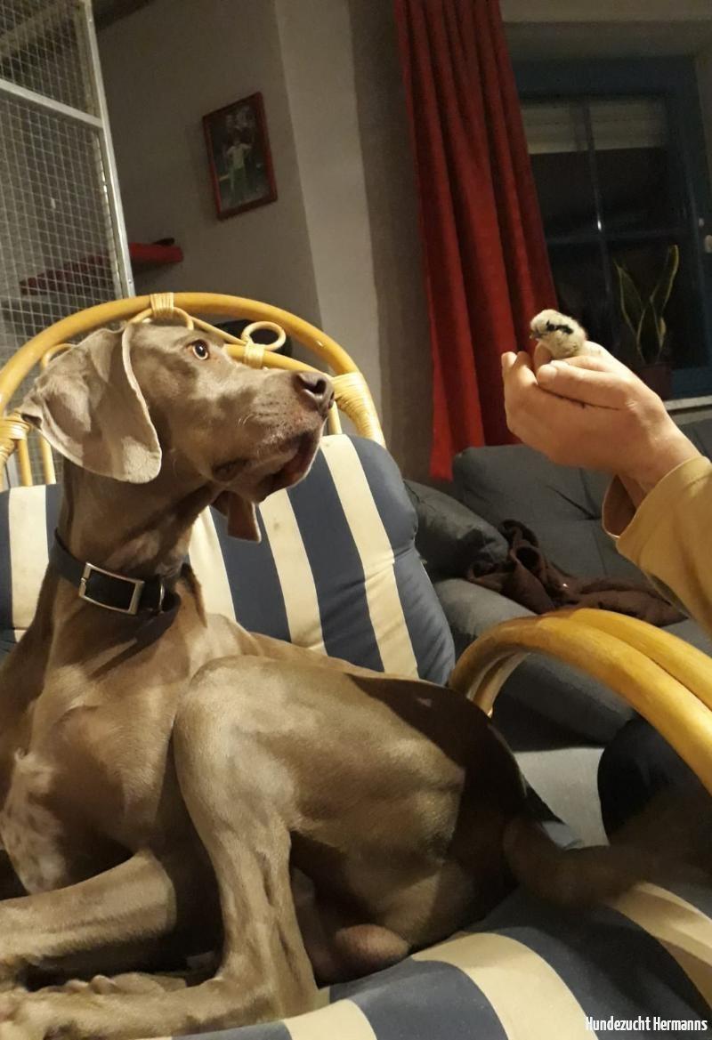 Weimaraner Hund Juri
