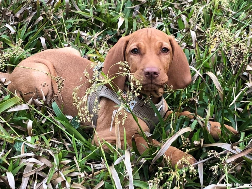 Magyar Vizsla Hund MIles im Gras