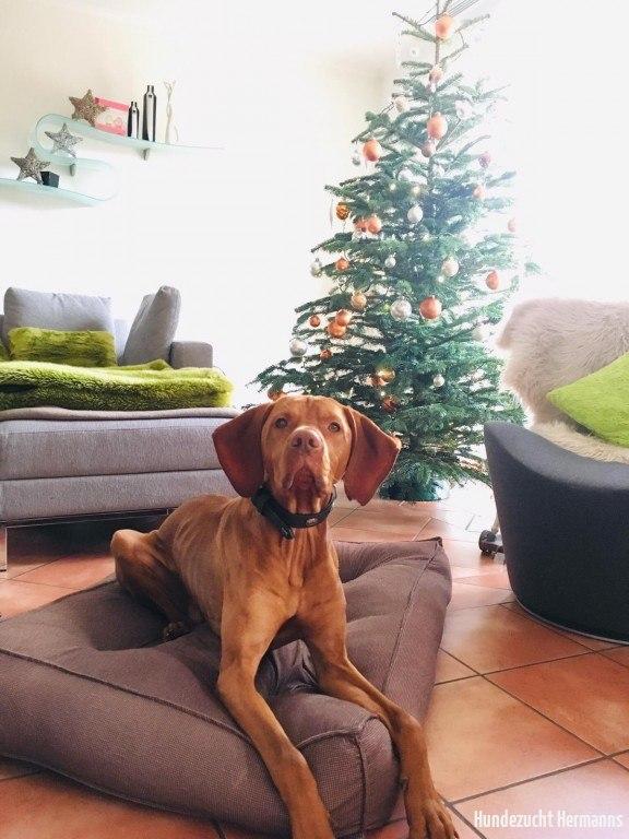 Magyar Vizsla Hund vor Tannenbaum