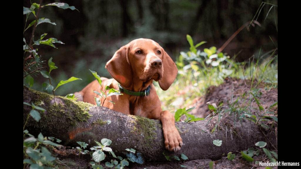 Magyar Vizsla Hund Oskar