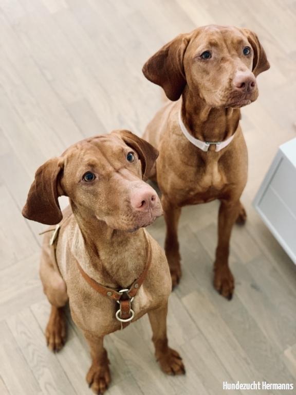 Magyar Vizsla Hunde Peanut-und Lulu