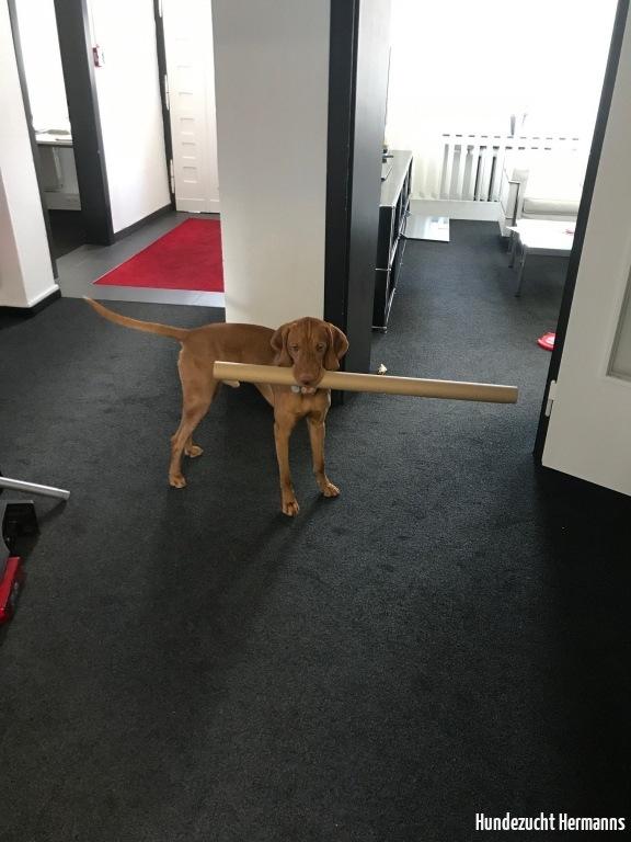 Magyar Vizsla Hund Rufus