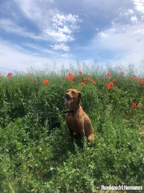 Magyar Vizsla Hund Uschi in der Wiese