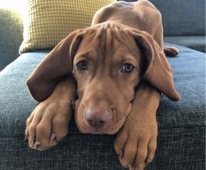 Magyar Vizsla Hund Joschi