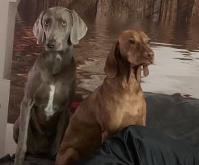 Weimaraner und Magyar Vizsla Hunde Lotta und Bonnie