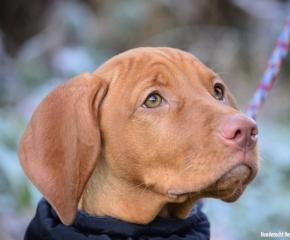 Magyar Vizsla Hund Lucy