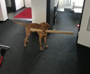 Magyar Vizsla Hund Rufus - bei der Arbeit