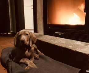 Weimaraner Hund Wilson